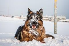 Perro de pastor alemán en la playa con nieve Riccione, Emilia Romagna, Italia Fotografía de archivo libre de regalías