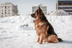 Perro de pastor alemán en la playa con nieve Riccione, Emilia Romagna, Italia Fotografía de archivo