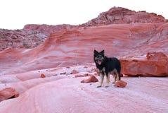 Perro de pastor alemán en las rocas rojas Imágenes de archivo libres de regalías