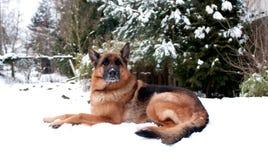 Perro de pastor alemán en nieve Fotos de archivo libres de regalías