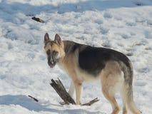 Perro de pastor alemán femenino en nieve Fotografía de archivo libre de regalías