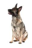 Perro de pastor alemán gris Imágenes de archivo libres de regalías