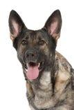 Perro de pastor alemán gris Foto de archivo