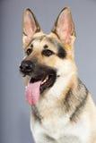 Perro de pastor alemán hermoso aislado Fotografía de archivo libre de regalías