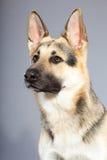 Perro de pastor alemán hermoso aislado Fotos de archivo libres de regalías