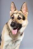 Perro de pastor alemán hermoso aislado Fotografía de archivo