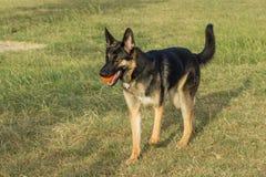 Perro de pastor alemán hermoso que lleva una bola anaranjada Imagen de archivo libre de regalías