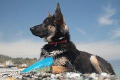 Perro de pastor alemán joven Fotografía de archivo libre de regalías