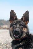 Perro de pastor alemán joven Imágenes de archivo libres de regalías