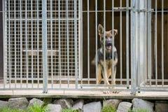 Perro de pastor alemán joven en perrera Imagenes de archivo