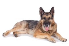 Perro de pastor alemán mayor Fotos de archivo libres de regalías