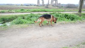 Perro de pastor alemán que camina en el parque metrajes