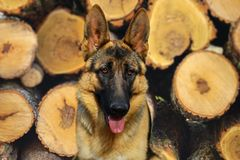Perro de pastor alemán que descansa en el jardín fotografía de archivo libre de regalías