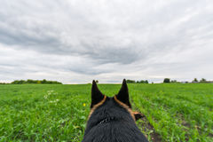 Perro de pastor alemán que juega y que corre Point of View Fotos de archivo