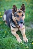 Perro de pastor alemán que miente en la hierba de la primavera Foto de archivo
