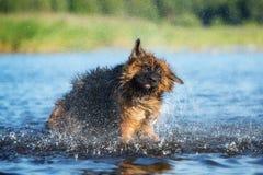 Perro de pastor alemán que sacude del agua Imagenes de archivo
