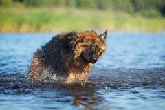 Perro de pastor alemán que sacude del agua Fotos de archivo