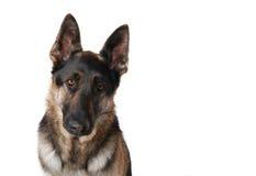 Perro de pastor alemán triste Imagenes de archivo