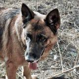 Perro de pastor alemán 5years viejo foto de archivo