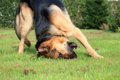 Perro de pastor alemán Fotografía de archivo libre de regalías