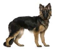 Perro de pastor alemán, 7 meses, colocándose Imagen de archivo