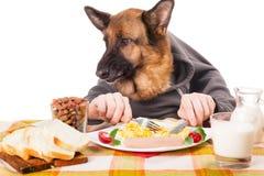 Perro de pastor alemán divertido con las manos humanas, comiendo el huevo revuelto Foto de archivo
