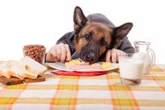 Perro de pastor alemán divertido con las manos humanas, comiendo el huevo revuelto Imagen de archivo