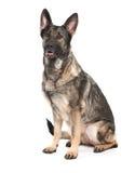 Perro de pastor alemán gris Imagen de archivo