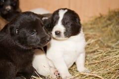 Perro de pastor asiático central Fotos de archivo