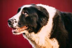 Perro de pastor asiático central Alabai - una raza antigua de las regiones fotografía de archivo libre de regalías