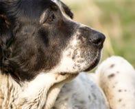 Perro de pastor asiático central que miente en el césped Foto de archivo