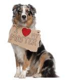 Perro de pastor australiano, 10 meses, sentándose imagen de archivo libre de regalías
