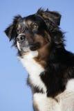 Perro de pastor australiano imagenes de archivo