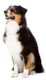 Perro de pastor australiano fotos de archivo