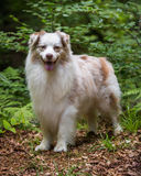 Perro de pastor australiano Foto de archivo