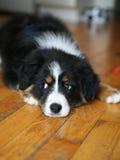 Perro de pastor australiano imagen de archivo libre de regalías