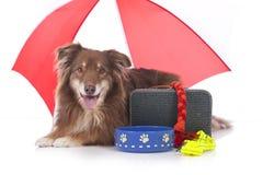 Perro de pastor australiano con el equipo de viaje Imágenes de archivo libres de regalías