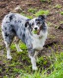 Perro de pastor australiano con las marcas blancas y grises Fotografía de archivo
