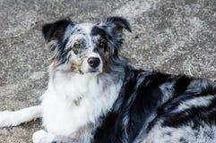 Perro de pastor australiano con las marcas blancas y grises Imagenes de archivo