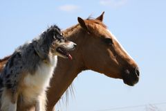 Perro de pastor australiano con un caballo Foto de archivo