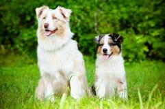 Perro de pastor australiano con un perrito foto de archivo libre de regalías