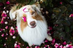 Perro de pastor australiano del merle rojo asombroso que se sienta entre las rosas imagen de archivo libre de regalías