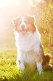 Perro de pastor australiano en luz de la puesta del sol Fotos de archivo libres de regalías