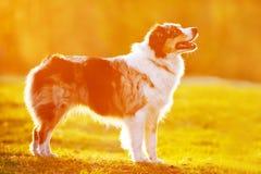 Perro de pastor australiano en luz de la puesta del sol Imágenes de archivo libres de regalías