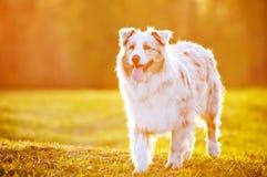 Perro de pastor australiano en luz de la puesta del sol Imagen de archivo libre de regalías