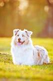 Perro de pastor australiano en luz de la puesta del sol Imagen de archivo
