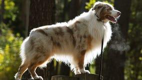 Perro de pastor australiano en luz del contorno metrajes