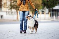 Perro de pastor australiano que camina en un correo con el dueño fotos de archivo libres de regalías