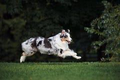 Perro de pastor australiano que corre en el parque fotografía de archivo