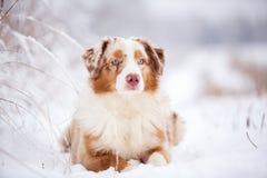 Perro de pastor australiano que miente en la nieve Foto de archivo libre de regalías